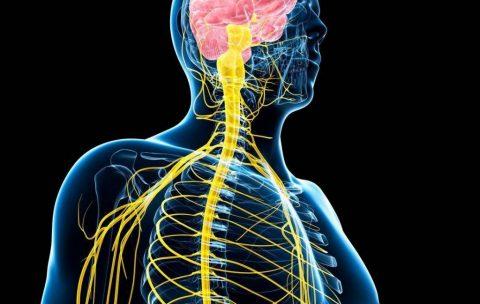 integraziya zentr. i perifericheskoy nervnoy sistemy