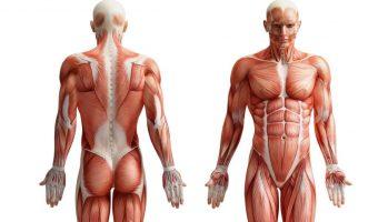 3d Anatomy Software Free Gallery Learn Human Anatomy Image